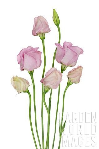 Love growing #Lisianthus - EUSTOMA_LISIANTHUS #botanical #illustration #flowers
