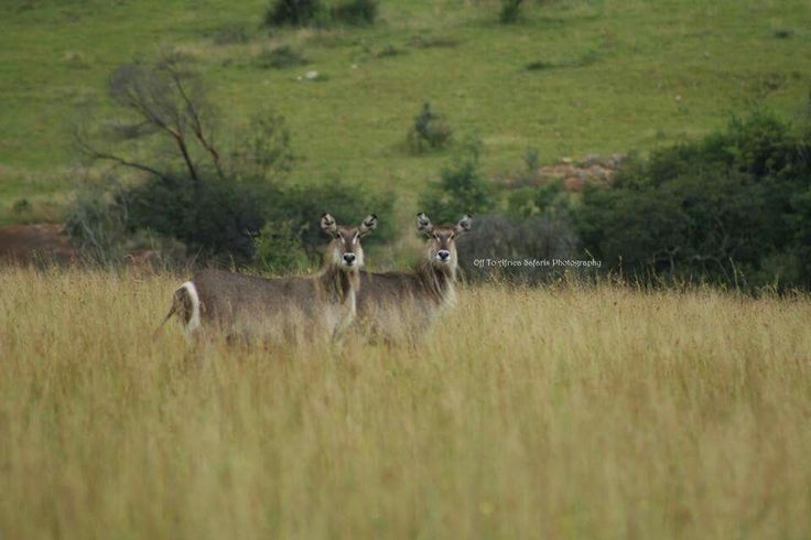 For the love of nature, Waterbuck females #offtoafricasafaris #waterbuck