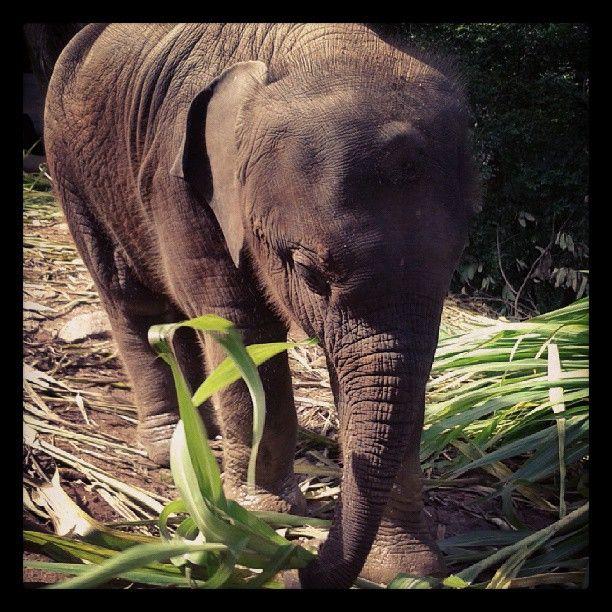 Więcej słoni na http://kursnawschod.pl/ #kursnawschod #thailand #elephant #słoń #natura #tajlandia #podróże #fotografia #blog #podróżniczy #azja #zwierzeta #travel #travelling #photo #zdjecie