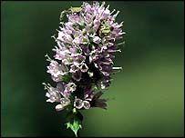 Prunella vulgaris - Treatment for Herpes Virus