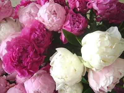 Bouquet of peony シャクヤクの花束