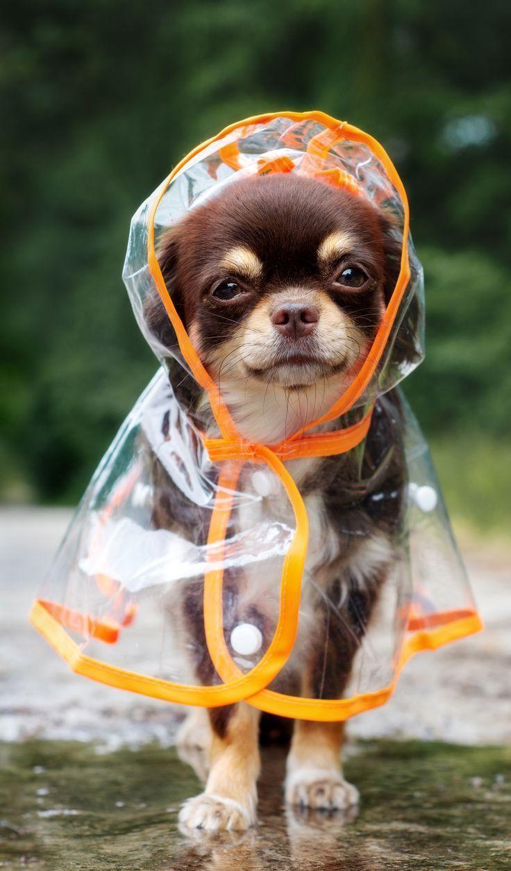 lustiger Chihuahuahund, der draußen in einem Regenmantel durch eine Pfütze aufwirft – süße Tiere