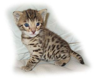 Savannahs For Sale Savannah Cats For Sale -- 40 lb cat that acts like a dog!