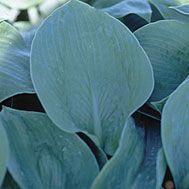 Hosta sieboldiana 'Elegans' (Hosta) - Fine Gardening Plant Guide