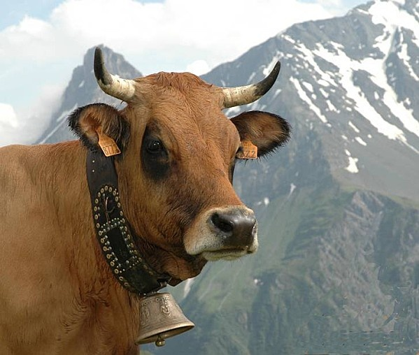 Tarine, vache de Tarentaise. Avec son lait, on fabrique le Beaufort.
