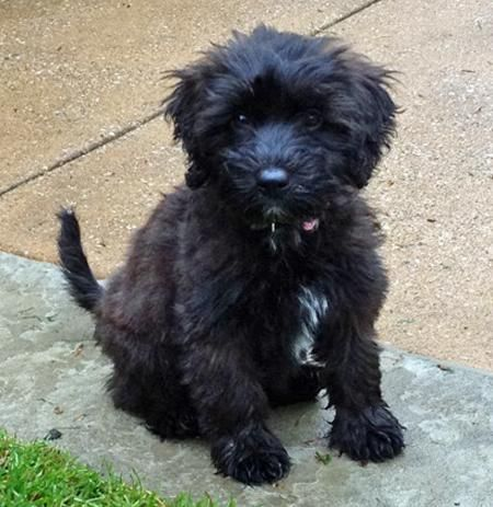 Tibetan Terrier Poodle Puppies