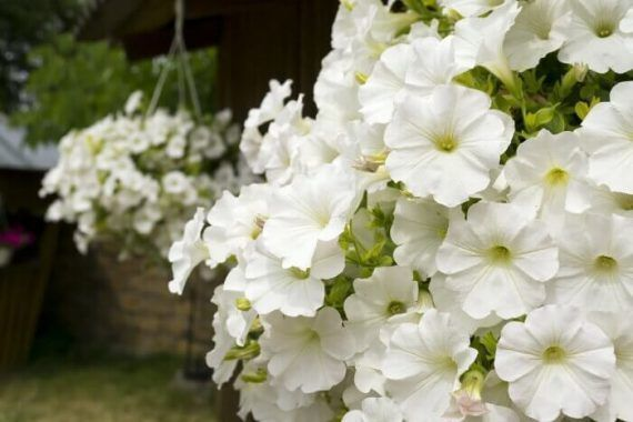 Petunia Meaning Types How To Grow 65 Photos White Petunia Flowers Enchant In 2020 Petunias Container Flowers Container Gardening Vegetables