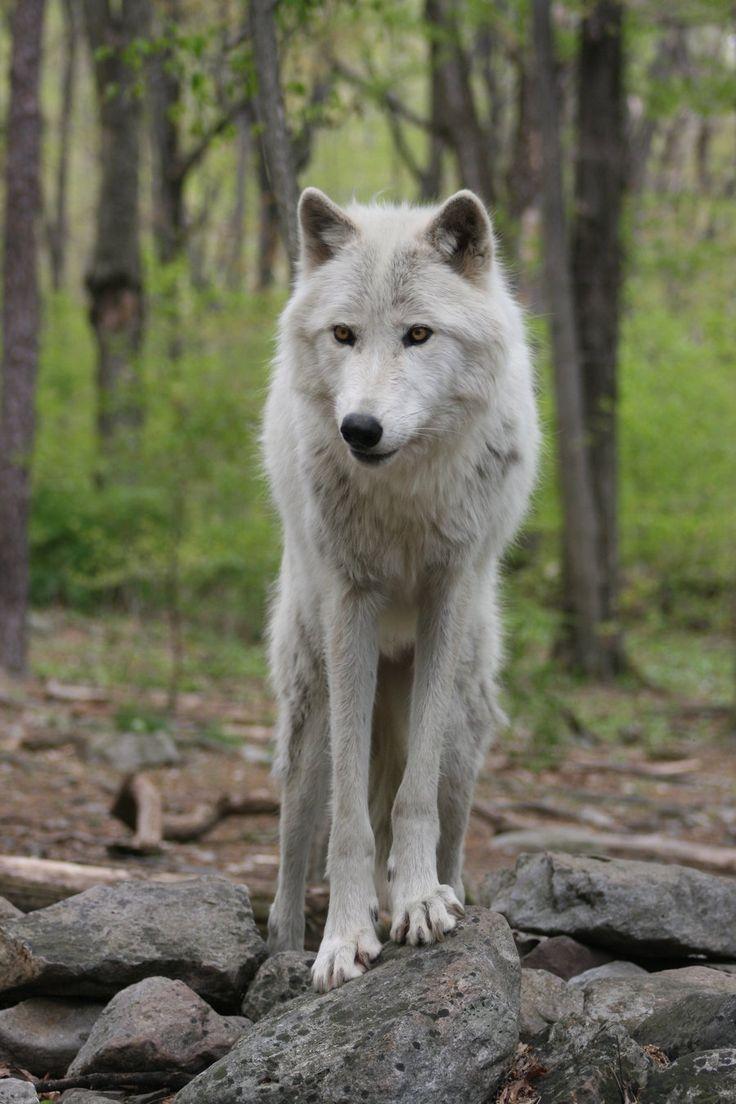 Wolf 6 by ma8201.deviantart**