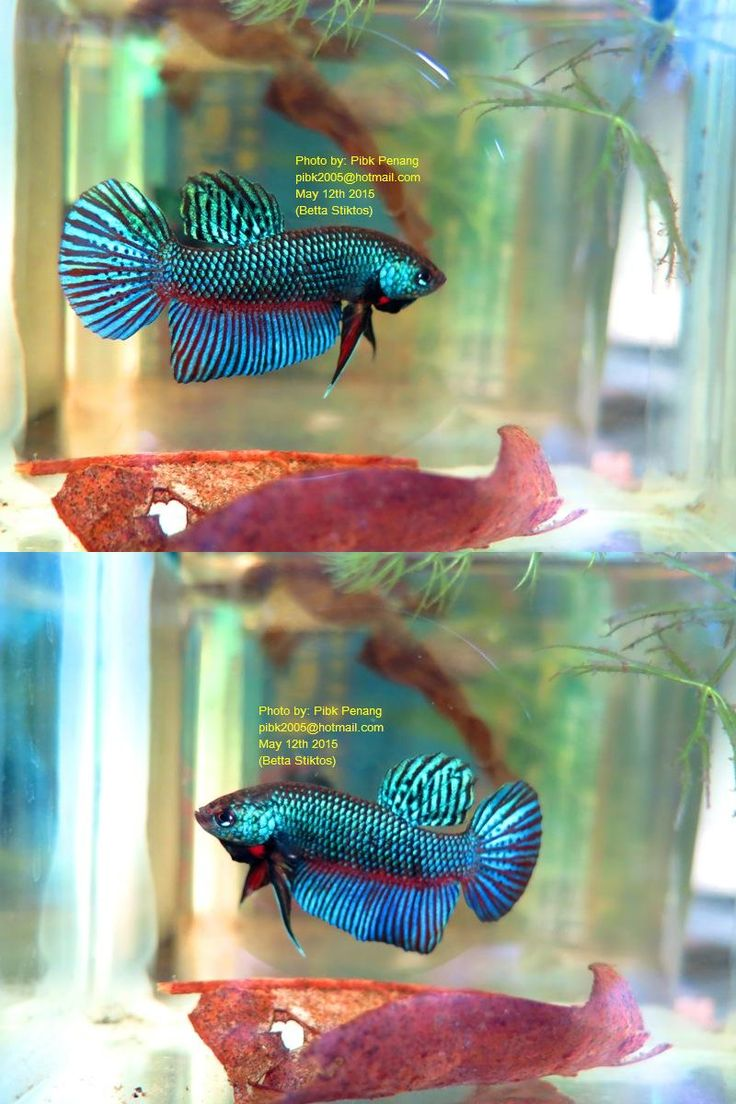 fwbettas1431774154 - Rare Species BETTA STIKTOS Pair (Breed)