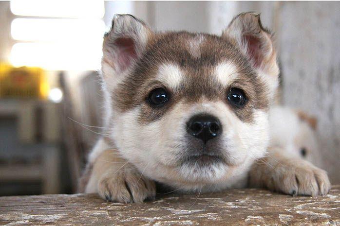 Siberian Husky Puppies For Sale Good Price In Delhi Siberian Husky