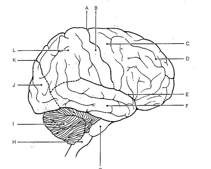 Brain Diagram Coloring Page