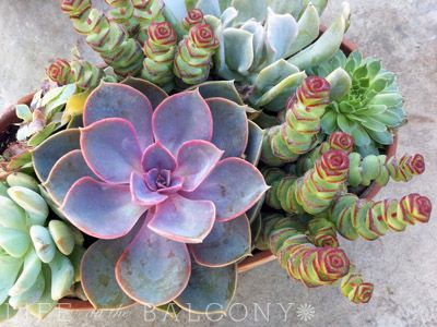 Succulent container gardens are low maintenance and take up little space, perfect for the busy urban gardener.