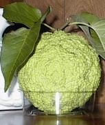 Hedgeapple's!  If you have a spider problem, sit some in different areas of your home and you wont see any until the headgeapple dies. Throw away only after entire thing turns black. We've used them for years and they work wonders! Wish I could plant a tree! The colder the room, the longer they last. We put them in the garage and basement. Results are seen within 24 hrs!