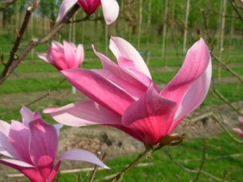 Magnolia soulangeana 'Spectrum' #flowering #tree #trees www.vdberk.co.uk