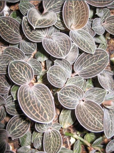Anoectochilus species (A. lowii) (Jewel Orchid)