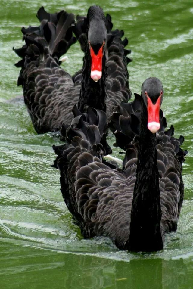 A pair of black swans