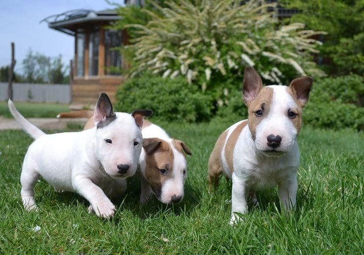 Bullterrier | Mini Bullterrier Welpen Stammbaum Hunde Rassehunde Bullterrier