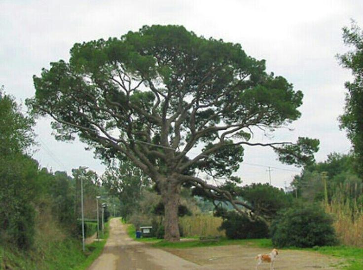 Il Pino di Monserrato, Isola d'Elba