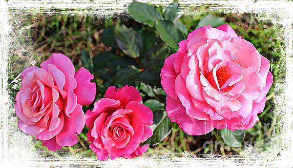 triple rose grunge