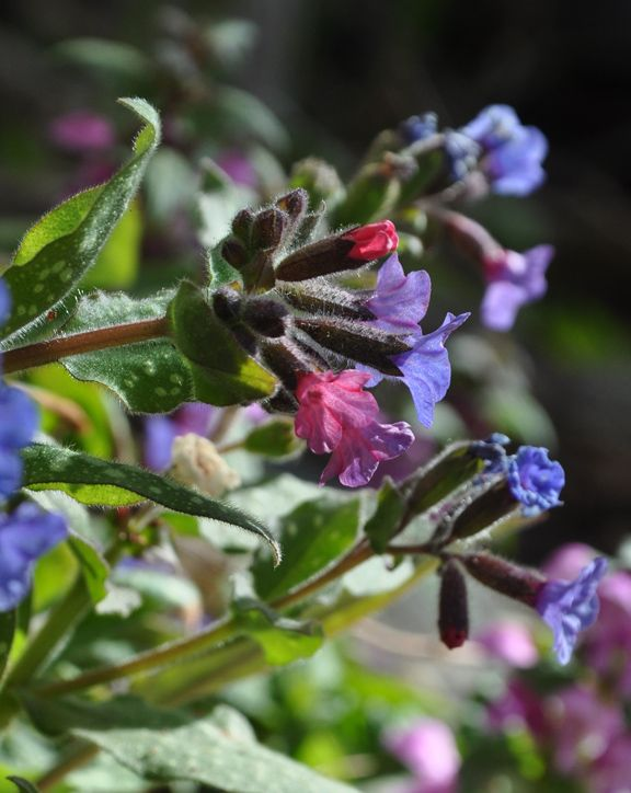 """Pulmonaria can be grown in normal, sandy or clay soil. Average to moist conditions. Height: 8-12"""". Spread: 18-23"""". USDA Zones: 3-9"""