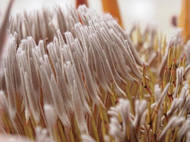 Close-up of dried King Protea, Sylvia Nevistic via Flickr.