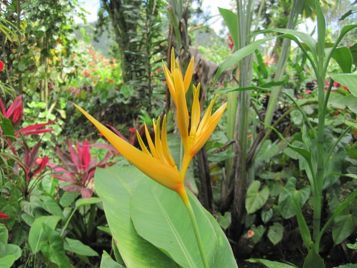 Caribbean Flowers: 39 Best Images About Caribbean Flowers On Pinterest
