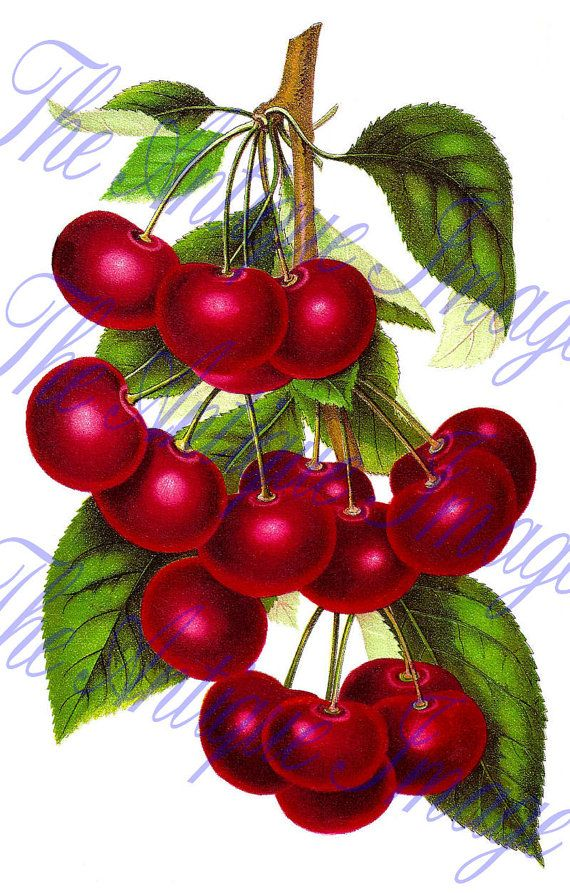 Digital Download Botanical Illustration Fruit by theantiqueimage, $3.00