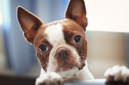 Red Boston Terrier. Ever since Walter came into my life, I have a soft a soft spot for Bostons :)
