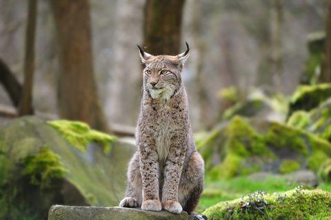 Lodjur, lynx - Sweden