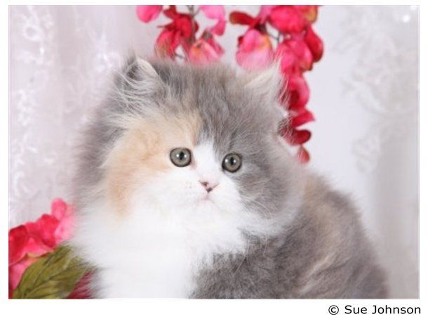 Persian cats for sale buffalo ny