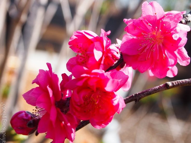 Prunus persica 'Crimson Cascade'CRIMSON CASCADE WEEPING PEACHdeciduous flowering treesun to part shadeMature size: 10'-15'HWSlow growthEARLY SPRING: BloomBefore leaves emergeLarge double rich pink-redStrongly weepingSmall fruits