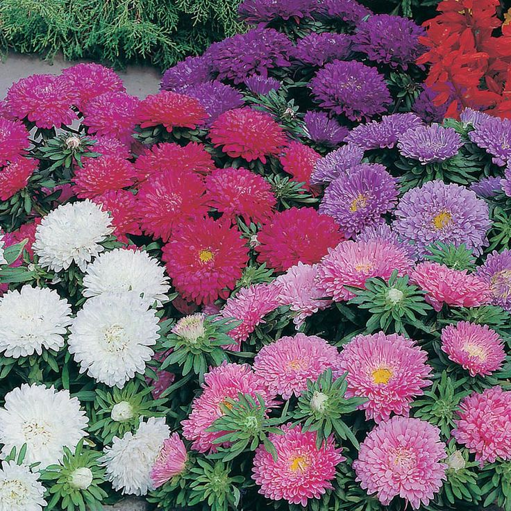 Seeds Asters | Johnson Seeds Aster Colour Carpet Mix | Boopli Home UK