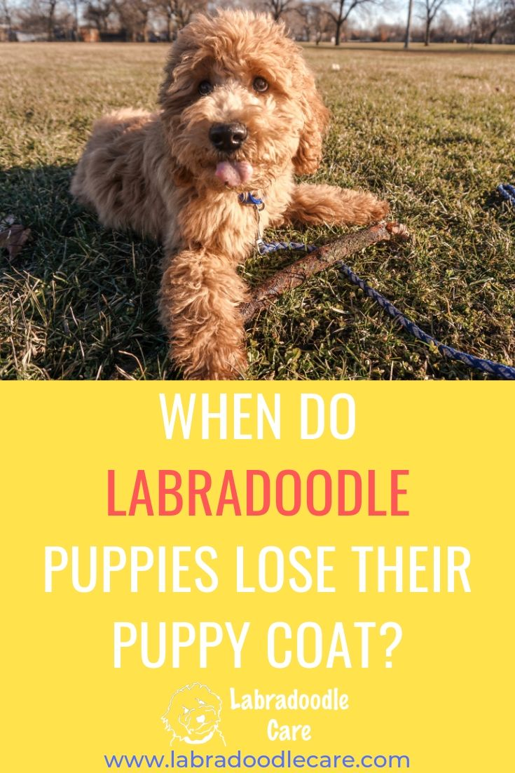 When Do Labradoodle Puppies Lose Their Puppy Coat Do They Shed