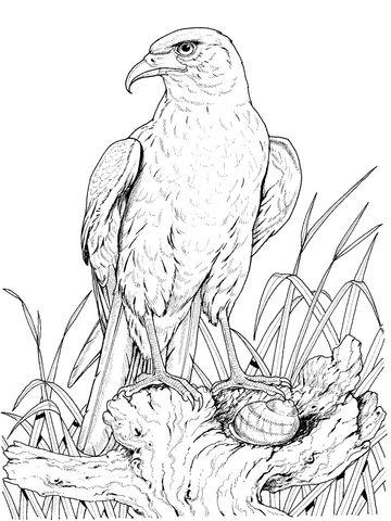 Zittende goudarend kleurplaat Uilen Haviken Kleurplaten Vogels tekenen en Gratis kleurplaten