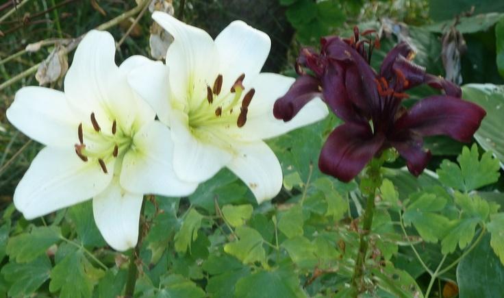 Lilies  #Sarjaton