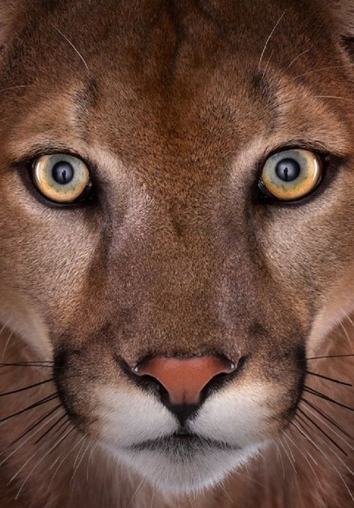palomar mountain cougars personals Sometime in the dead of the night on january 17, doc and ann sowards were  awakened by a commotion in their backyard chicken house.