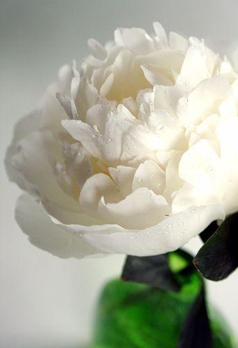 Beautiful white peony.
