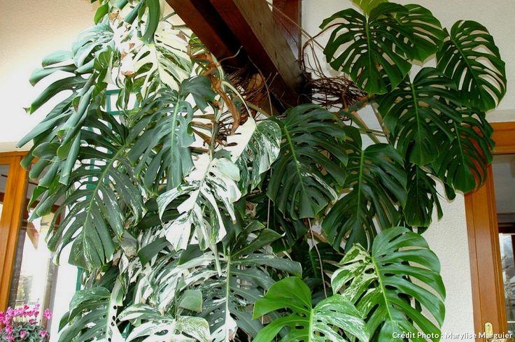 Le grand monstera deliciosa ou faux philodendron est une plante épuratrice qui absorbe le formaldéhyde et le pentachlorophénol utilisés pour le traitement du bois.