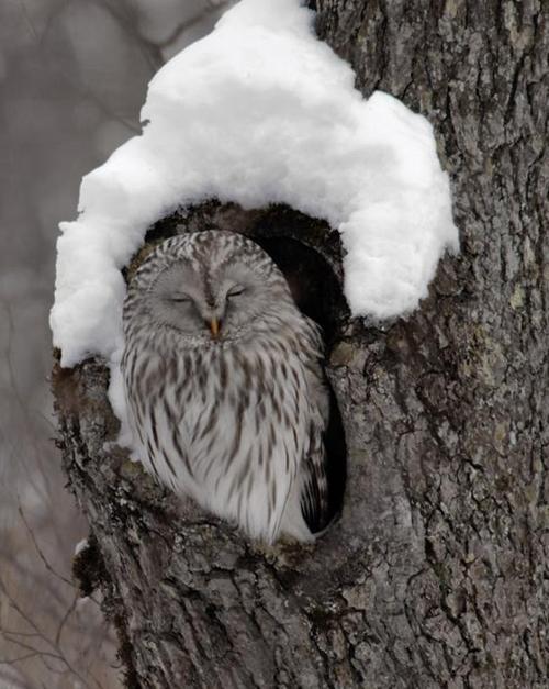 love owls =]: Dennis Binda, Ural Owl, Winter, Wildlife Photography, Natural Beautiful, Sleepy Owl, Baby Animal, Birds, Owls