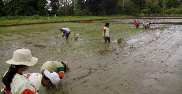 Puluhan Napi di Merauke Merauk Tanam Padi di Lahan 4 Hektare http://indonesiatoday.id/wp-content/uploads/2017/03/image-1-87.jpg MALANGTODAY.NET – Puluhan narapidana (Napi) penghuni Lembaga Pemasyarakatan (Lapas) Kelas II B, Kabupaten Merauke, Provinsi Papua menggarap empat hektare lahan sawah pada dua titik berbeda. Kepala Lapas Kelas II B Merauke Suroto mengatakan sebagian besar dari empat hektare lahan sawah itu sudah ditanami dan masih ada dua persen lagi yang sege