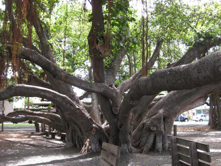 Banyon Tree Lahaina, Maui, Hawaii August 2013