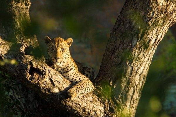 Came across this magnificent Leopard on an early morning gamedrive. Just outside Berg en Dal, Kruger Park.
