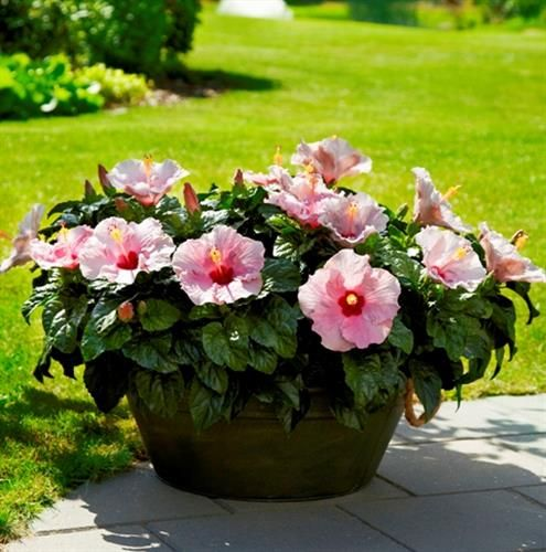 Island Dream™ Hibiscus Adonicus Pink