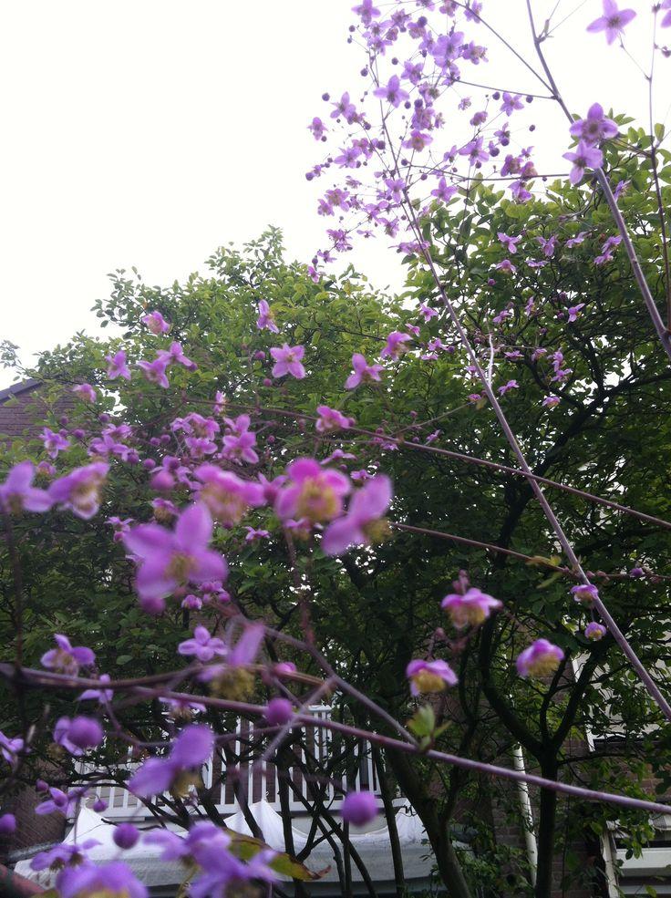 49 best thalictrum images on pinterest garden plants for Thalictrum rochebrunianum rhs