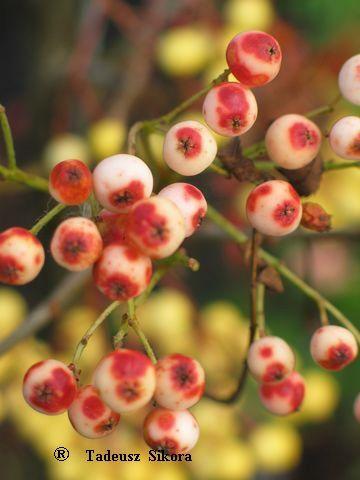 Sorbus 'Red Tip', Rönn. Snabbväxande sort.  Frukterns ljust rosa med mörkröda fläckar.  Höjd: 5-9 m.