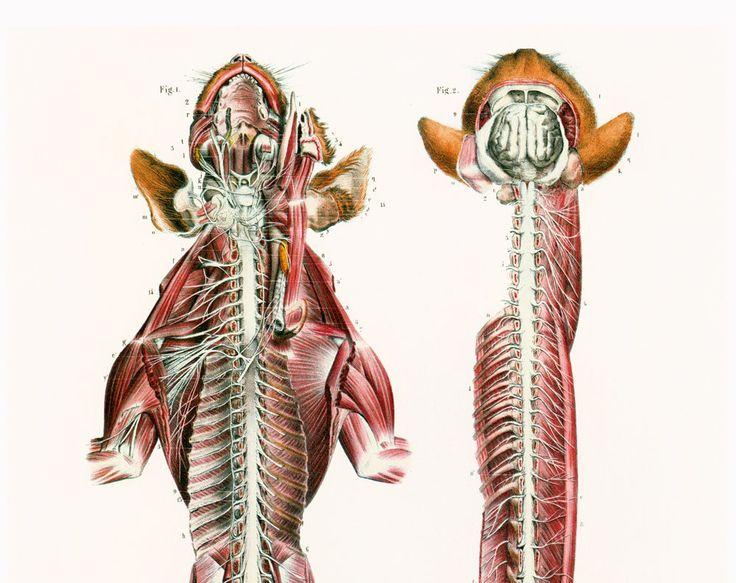 29X40cm Système nerveux du chat, Anatomie Animale, Reproduction Planche Anatomique, Bourgery, Poster Medecine Veterinaire de la boutique sofrenchvintage sur Etsy