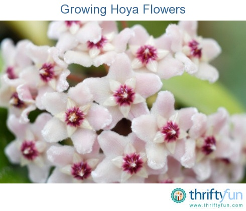 how to cut back a hoya plant
