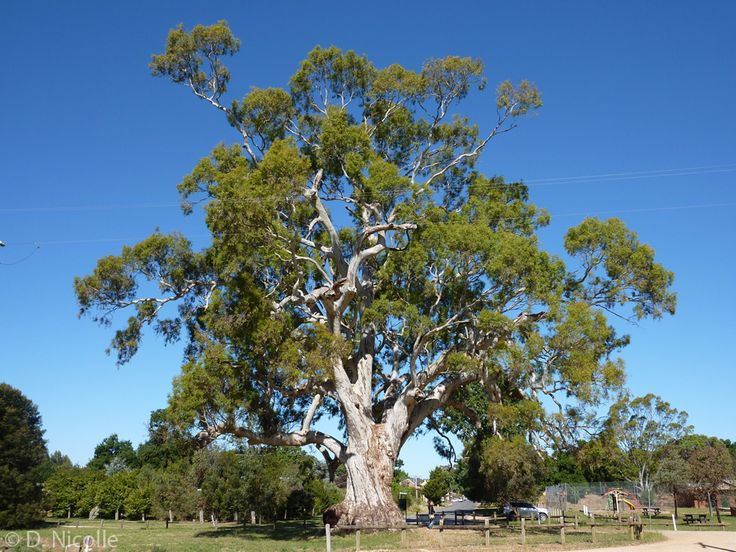 River Red Gum Growth Rate