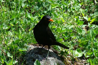Birds (Avis) ჩიტები: Common Blackbird - Turdus Merula - ჩვეულებრივი შაშვი