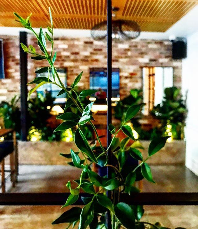 We dropped in to @fire_house_hotel today to install these climbing Pandorea jasminoides on their amazing steel trellis. Can't wait until they burst into a mass of white blooms. Upstairs is now open, go hang out in this awesome oasis in the middle of North Sydney, styled by the talented Jen at @creatingroom 🌿